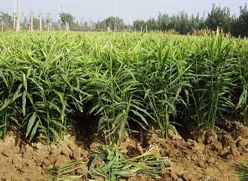 生姜的需肥特点及施肥技术