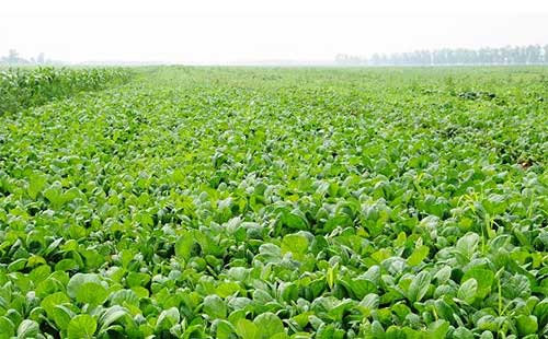 菠菜的主要施肥及田间管理技术